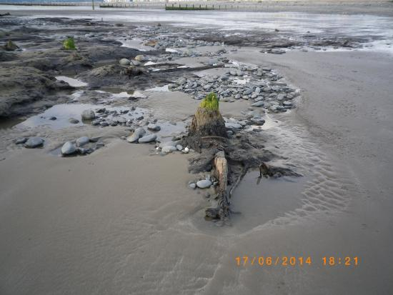 Borth, UK : The drowned forest at low tide.