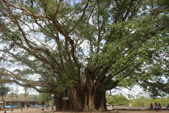 Image result for hold balete tree in sipaway