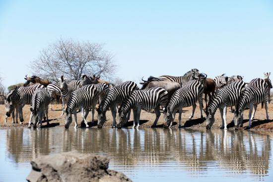 """Chiredzi, ซิมบับเว: Zebra at the watering hole, viewed from the """"blind"""""""