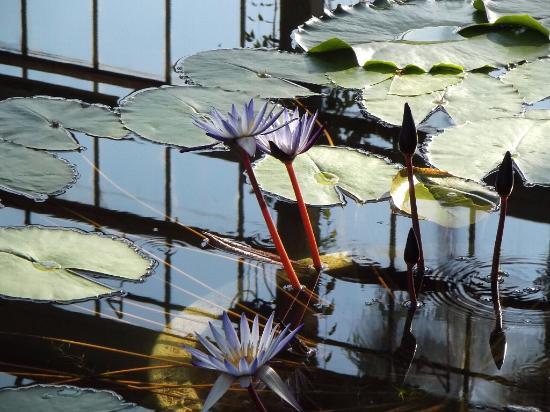 Hiroshima Botanical Park: 温室睡蓮