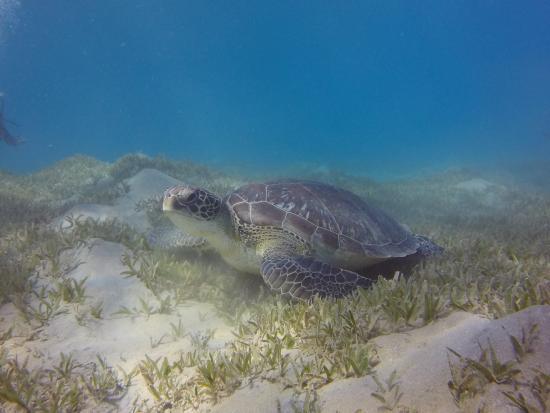 Coral Garden Resort and Dive Centre: Schildkröte