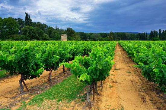 Wine in Provence Tours: Vines in Bandol