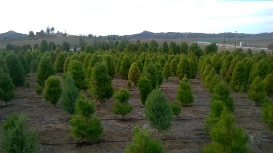 Ramona, Kaliforniya: A glimpse of the Christmas tree lot