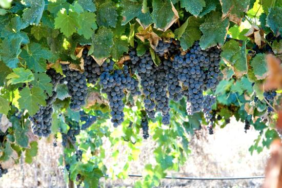 Ramona, Kalifornien: Simply grapes!