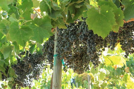 Ramona, Kalifornien: Grapes!