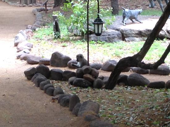 Jock Safari Lodge: Resident monkeys
