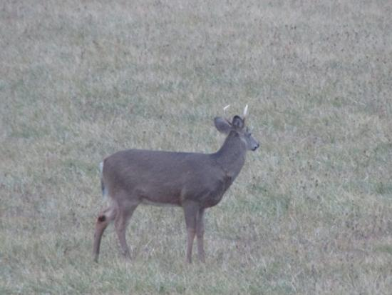 Kingston, MI: Buck on grounds