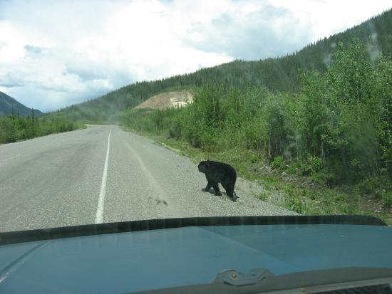 Delta Junction, AK: Yukon Black Bear