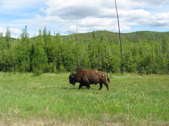 Delta Junction, AK: Yukon Woods Bison