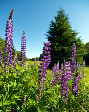 Ellsworth, ME: Maine Lupines (canvas artwork)