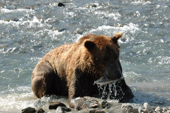 Kodiak, AK: Bear are great fishermen