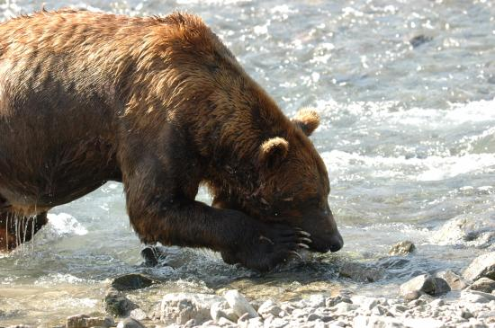 Kodiak, AK: The bear's power was incredible