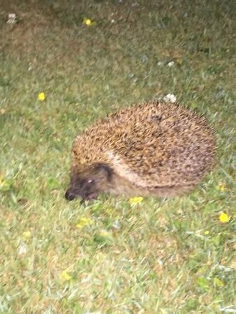 Donegal House : Wild hedgehog