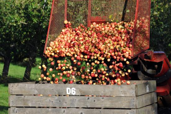 Pembridge, UK: Harvesting the Organic Apples and Pears