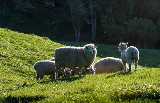 Waitomo Boutique Lodge : Friendly Sheep at Montrose Estate