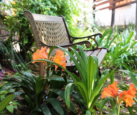 Rivonia, Sydafrika: Clivias in full-bloom in rambling gardens