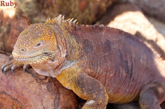 Baltra, Equador: Iguanas de Seymour North, Galápagos
