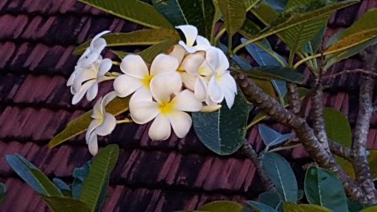 Robinhill Suites : Fragrant frangipani at Robin Hill