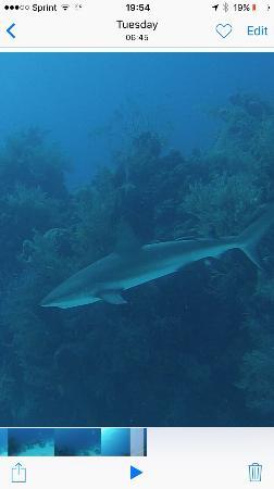 Turneffe Island, بليز: Reef shark