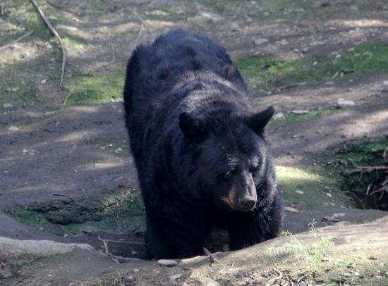 alaska zoo  black bear digging in bear in hammock   picture of alaska zoo anchorage   tripadvisor  rh   tripadvisor