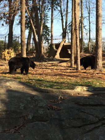 North Carolina Zoo: Black Bears at NC Zoo