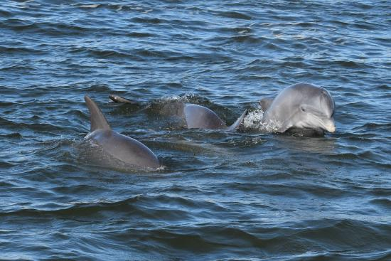 Manatee Scenic Tour Boat: Dolphin pals