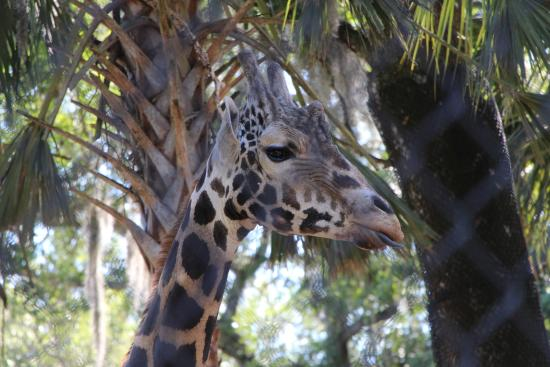 Central Florida Zoo U0026 Botanical Gardens: Feed The Giraffes.