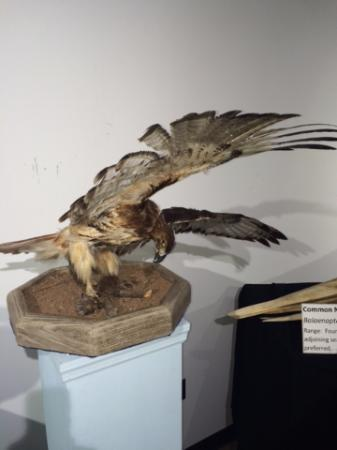 Georgia Museum of Natural History: Redtail Hawk offing a mouse