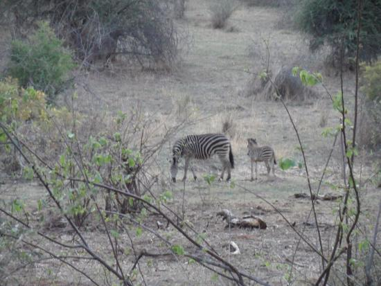 The Stanley and Livingstone Private Game Reserve: Zebras spotting from our balcony