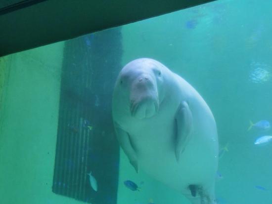 ジュゴン - Picture of Toba Aquarium, Toba - TripAdvisor