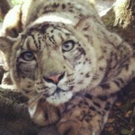 Dunlap, CA: Tizana the snow leopard is watching you