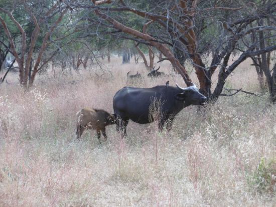 Reserve De Bandia : une bufflonne qui alaitte son petit