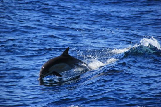 Dana Point, CA: Lots of dolphins
