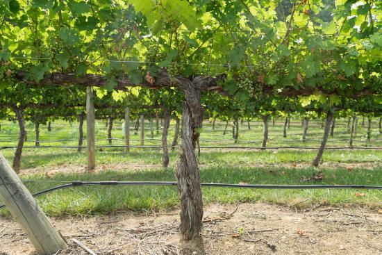 Lexington, Carolina del Norte: Childress Vineyard