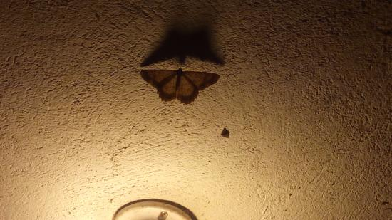 Bio Hostal Mindo Cloud Forest: night butterfly in the hall