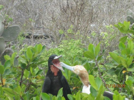 Genovesa, Ecuador: Frigate bird feeding baby bird