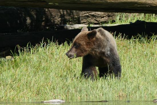 Telegraph Cove, Καναδάς: Cute grizzly!
