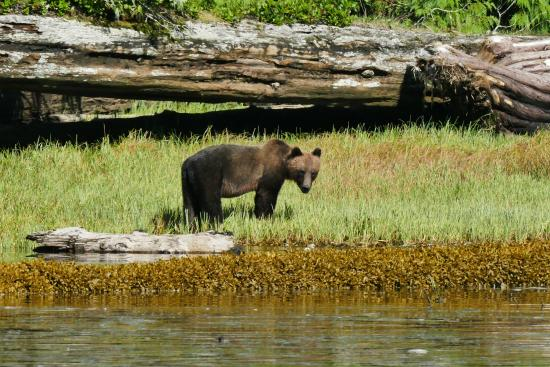 Port Hardy, Kanada: Cute little grizzly