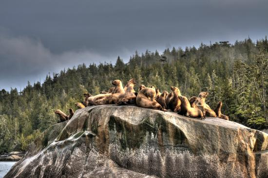 Port Hardy, Kanada: Sea Lions at T'ɬixadi