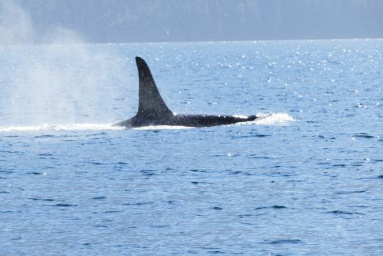 Port Hardy, Canada: Big orca!