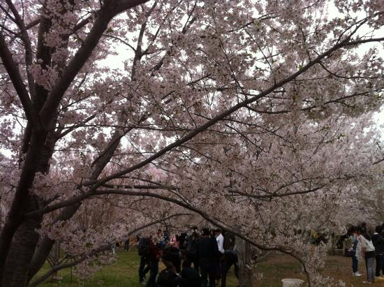 Lushun Longwangtang Cherry Park: 桜