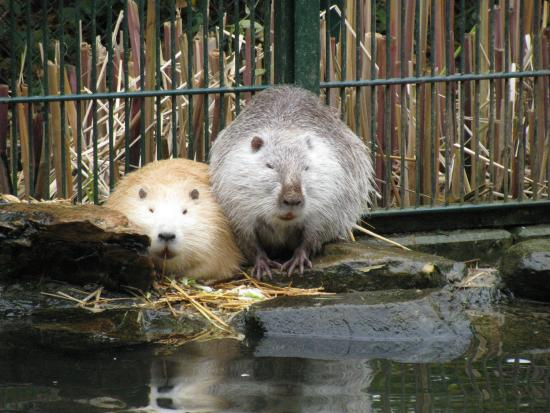 Tier- und Pflanzenpark Fasanerie: Nutria