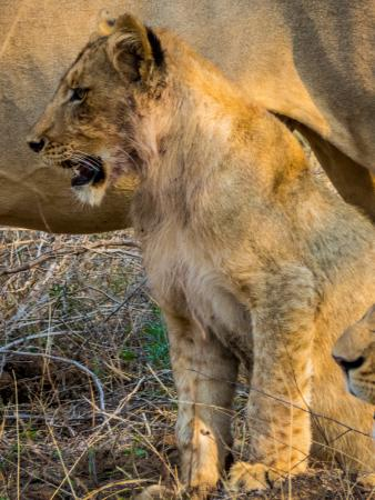 Sausage Tree Safari Camp: Little lion