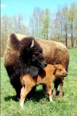 Goshen, CT: Bison and calf