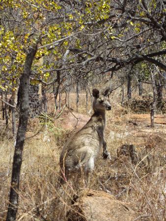 Undara Volcanic National Park, Avustralya: Onze 1e levende kangoeroe