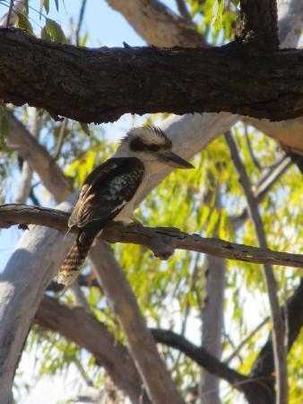 Undara Volcanic National Park, Australia: Kookaburra