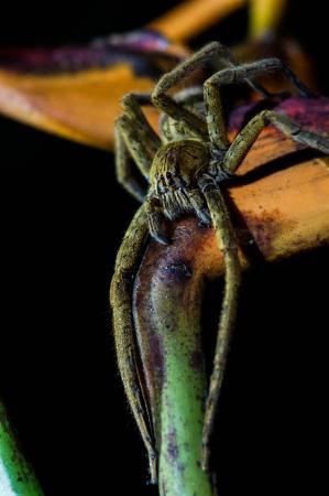 Jinetes de Osa Hotel: Banana Spider on the night hike