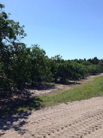 South Naples Citrus Grove
