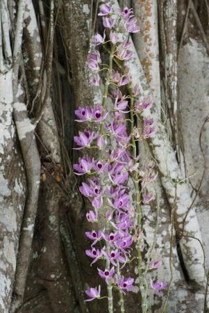 Orchidée Jardin de l\'Assemblée de la Polynésie Française - Picture ...
