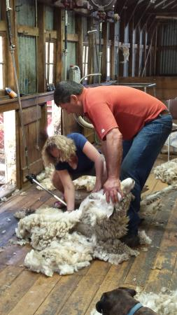 Hawarden, Neuseeland: sheap shearing